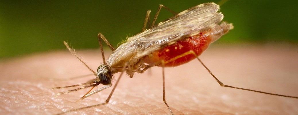 Mandatory Credit: Photo by CDC / Phanie / Rex Features ( 615712U ) Female Anopheles stephensi mosquito feeding on human blood. This mosquito is a vector of the parasite Plasmodium, the agent of malaria. Stock