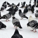 151001124328_pigeons_everywhere_624x351_freecastersccby2.0_nocredit